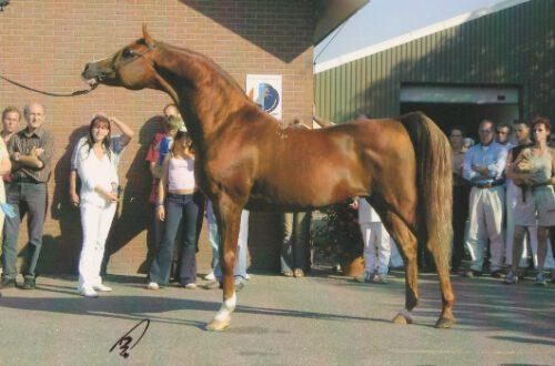 Kubinec (Balaton x Kosmetika by Muscat) - European and World Champion Stallion